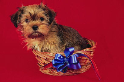 Brown dog in basket with blue bow.jpg