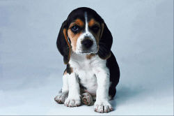 Puppy with big ears.jpg