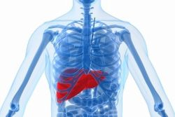 new31_human-liver.jpg