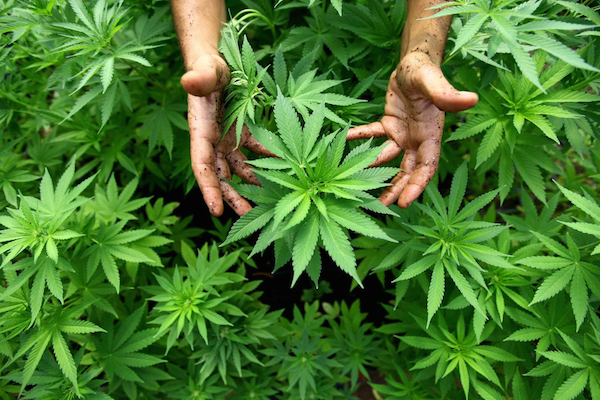 images_15112016_Cannabis.png
