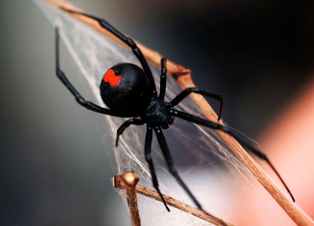 images_3032017_redback-spider.jpg