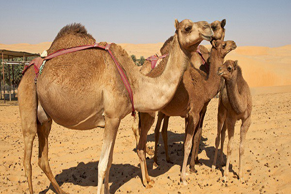 images_1042017_2_Camels.jpg