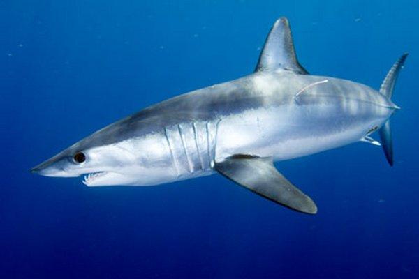 images_1042017_shortfin-mako-shark-usa-andy.jpg