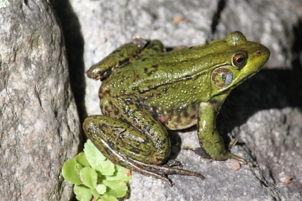 images_2542017_frogwatch043014-5-600x400.jpg