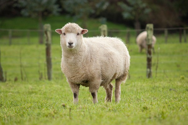 images_2742017_2_Sheep.jpg