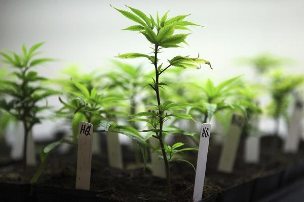images_2942017_cloning-cannabis.jpg