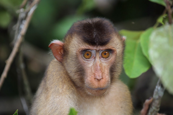 images_842017_2_1109-malaysia-macaque-01.jpg