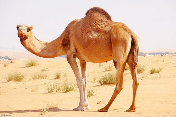 images_2782017_camel-bir1.jpg